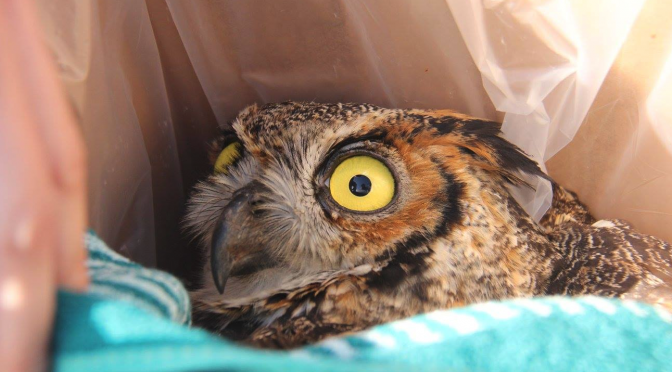 Great Horned Owl Rescued by a Caring and Observant Citizen