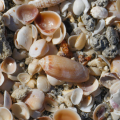 Olive Sea Shell