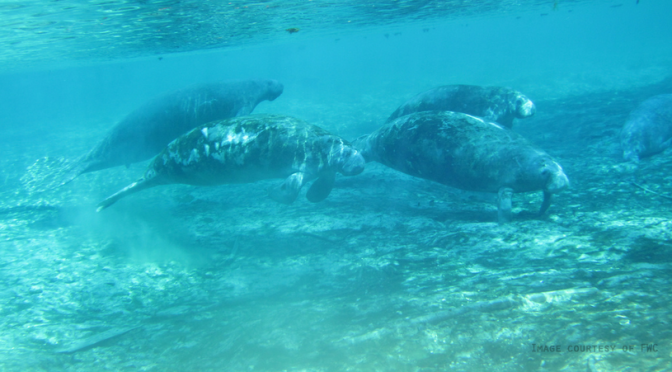 Recent Decision to Reclassify the Manatee